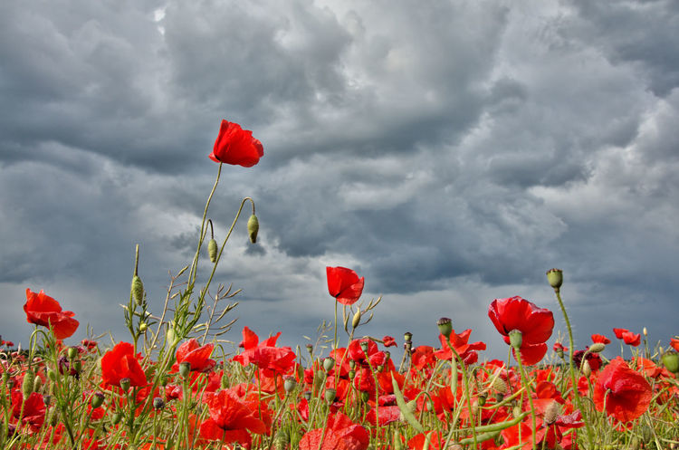 Abundance Beauty In Nature Blooming Blossom Botany Clouds Dramatic Sky Field Flower Head Flowers Fragility Freshness Growing Growth Nature No People Outdoors Petal Pink Color Poppies  Poppy Red Sky Springtime Stem