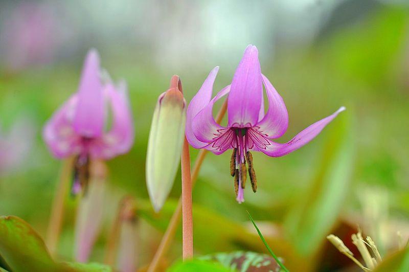 かたくり 山野草 Japan Flower Collection EyeEm Nature Lover Depth Of Field Flowers 春 Spring Spring Colours Macro Nature Pink Macro Spring Time