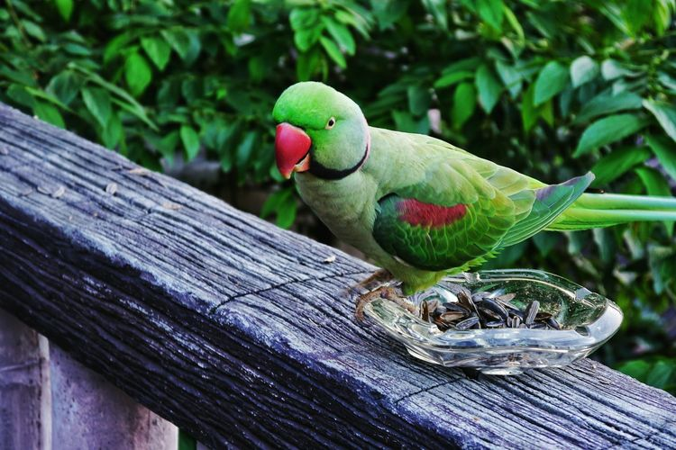 Animal Wildlife One Animal Animals In The Wild Animal Themes Close-up Green Color No People Outdoors Day Nature Perching Collar Parakeet Birds Excotic Birds EyeEmNewHere
