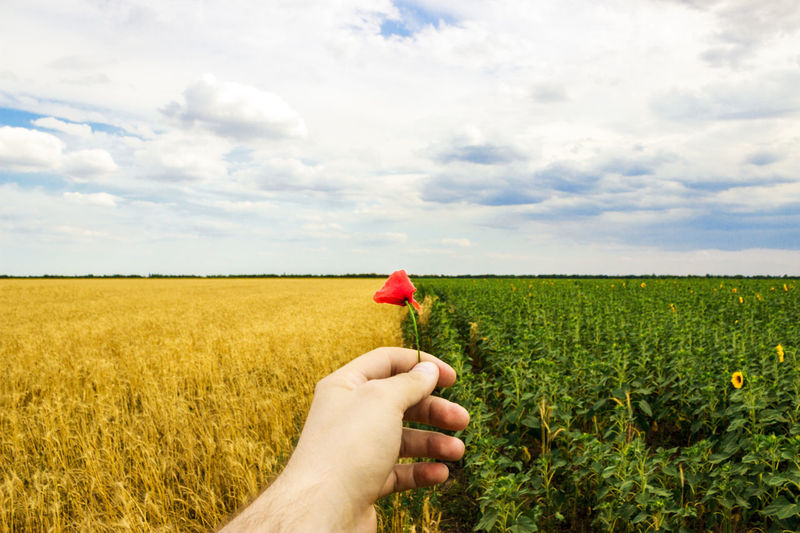 Close-up of hands and flower of a wild poppy, field of sunflowers and wheat in the background. Field Plant Land Sky Cloud - Sky Landscape One Person Nature Beauty In Nature Environment Real People Flower Agriculture Rural Scene Growth Day Flowering Plant Human Body Part Human Hand Hand Outdoors Flower Head Finger