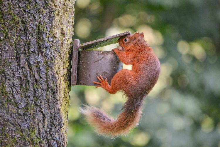 Red Squirrel Red Squirrel, Wildlife, Scotland Wildlife & Nature Wildlife Photography Wildlife Photos Red Squirrel Close Up Red Squirrel Eating Red Squirrel Nut Success Red Squirrels Wildlife Wildlife And Nature Wildlifephotographer Wildlifephotography