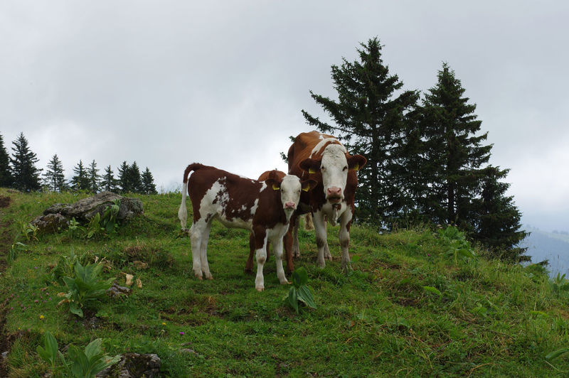 Cow and its veal standing in a field
