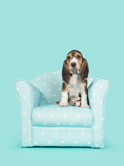 Cute basset artesien normand puppy sitting in a blue and white dotted chair on a blue background Chair French Basse Animal Themes Basset Basset Artesien Normand Blue Background Colored Background Dog One Animal Pets Puppy