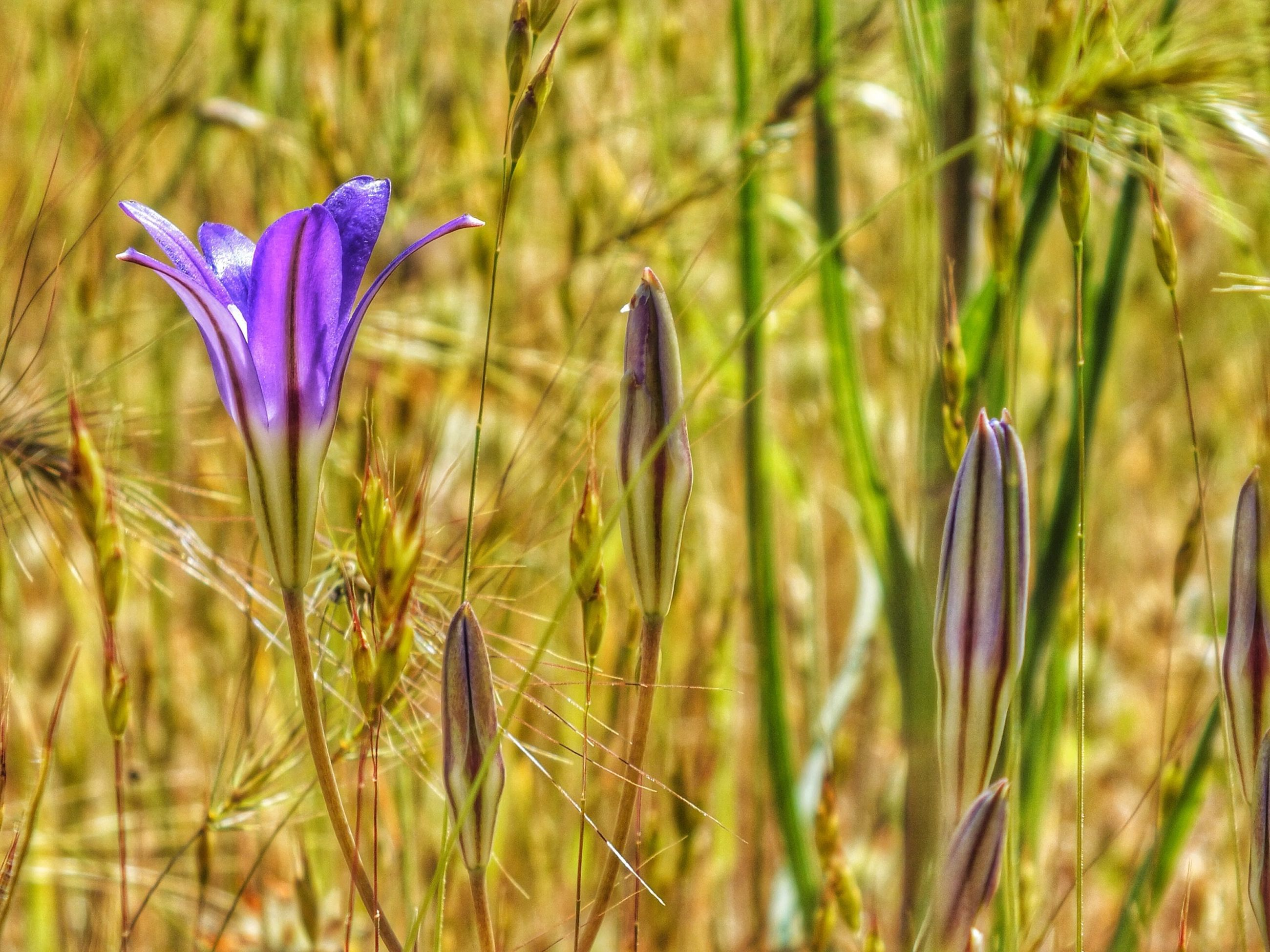 flower, fragility, purple, growth, focus on foreground, plant, close-up, freshness, nature, beauty in nature, selective focus, stem, blue, day, outdoors, field, petal, no people, flying, tranquility