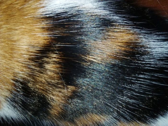 Nahaufnahme Katzenfoto Katzenfotografie Tricolor Cat Catoftheday Tierhaar Katzenfell Tricolor Cat Tierfotografie Hairs Cat♡ Katze EyeEmNewHere Eye Pets Backgrounds Full Frame Close-up Animal Themes Domestic Cat Cat Animal Hair
