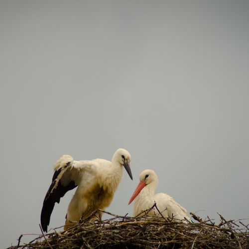 Low angle view of storks perching in nest against sky