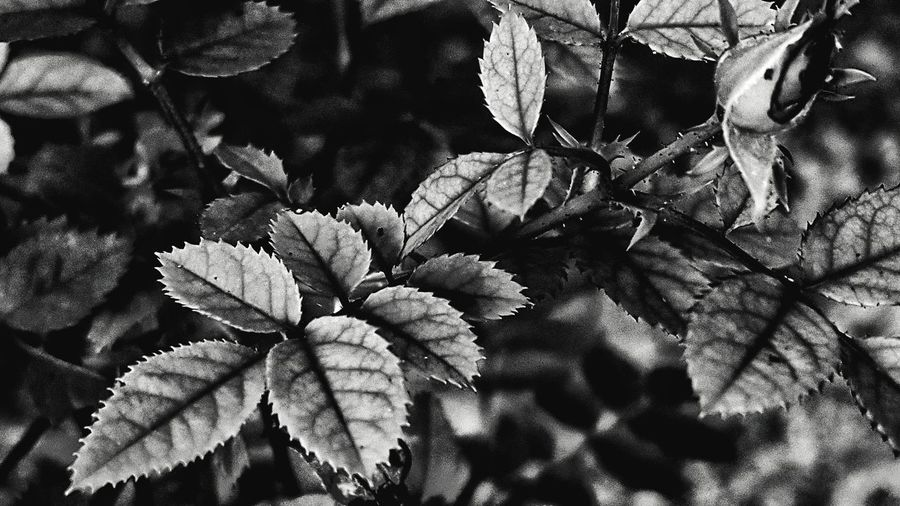 Flower Nature Plant Growth No People Beauty In Nature Leaf Outdoors Close-up Day Tree Freshness South Louisiana Black And White Photography Leaves🌿 Leaves_collection Pointy Foliage