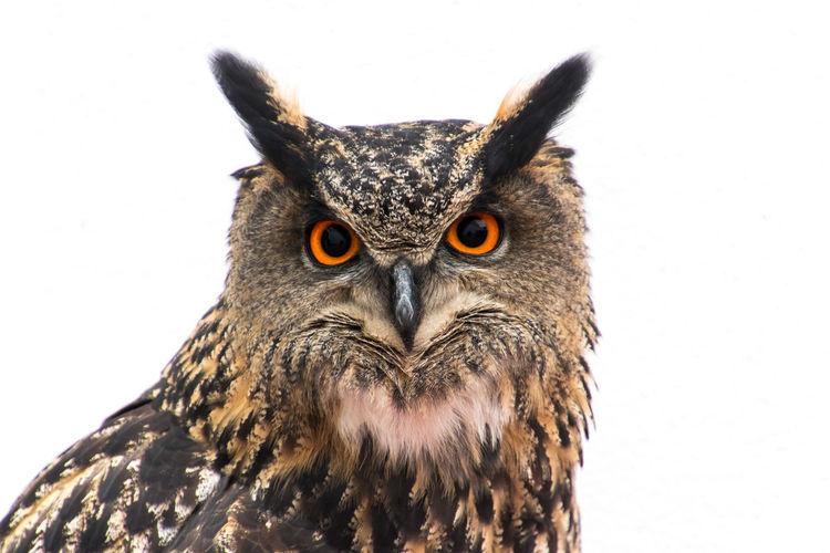 Royal Old Owl