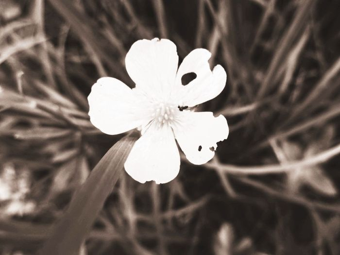Edit. Change. Look. Nature White Color Buttercup Insect Soft Focus Background Blur Filters Imagine Grassland Flower Head Flower Beauty Closing Springtime Uncultivated White Color Softness Plant Life Butterfly - Insect Flowering Plant