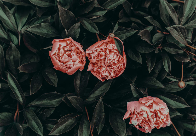 Plant Part Plant Leaf Growth Beauty In Nature Freshness Close-up Red Nature Flower Flowering Plant Flower Head Petal No People Inflorescence Vulnerability  Fragility Day High Angle View Rosé Outdoors Leaves