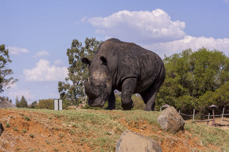 Low angle view of rhinoceros in landscape against sky