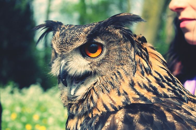 Close-Up Of Eurasian Eagle-Owl In Zoo
