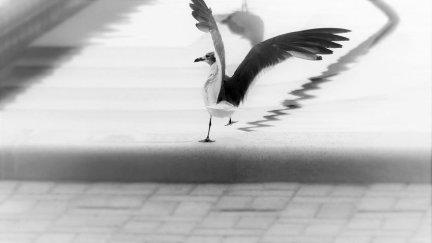 Animal Themes Animals Avian Bird Blackandwhite Feather  High Angle View Monochrome Nature No People One Animal One Leg Rowers Reflection Seagull Tranquility Wings Spread Zoology Monochrome Photography