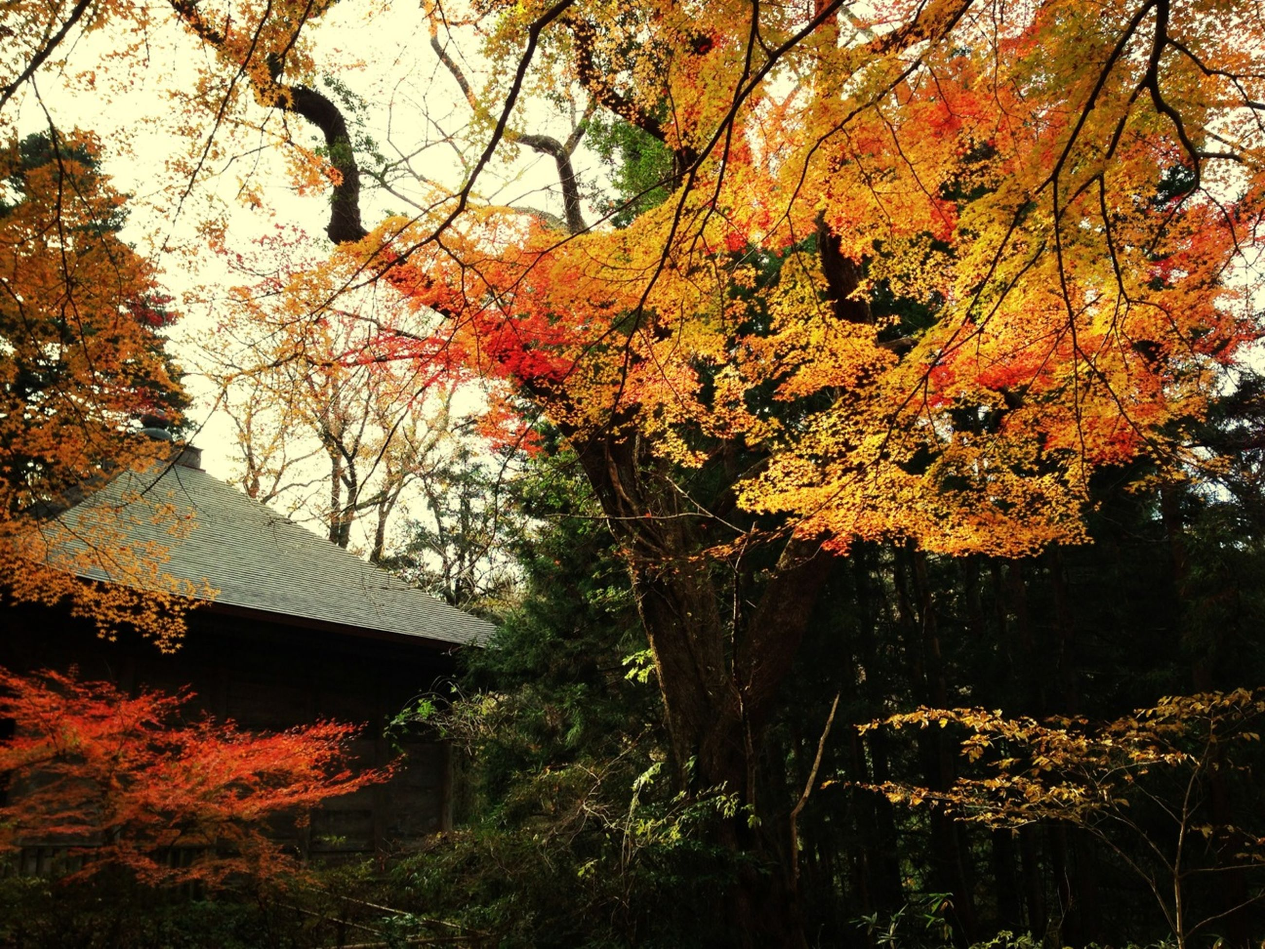 tree, autumn, branch, growth, built structure, building exterior, change, architecture, season, tree trunk, nature, house, leaf, beauty in nature, tranquility, orange color, outdoors, day, no people, low angle view