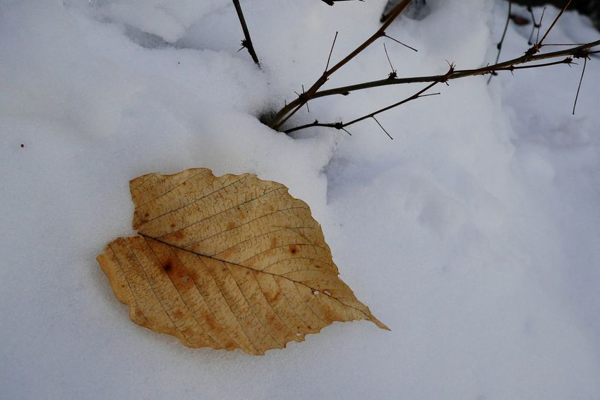 In the vastness of white snow, the beauty of a dry leaf can really stand out. Naturephotography Eyem Nature Collection Eyem Nature Lovers  Snow Dryleaves Dryleaf