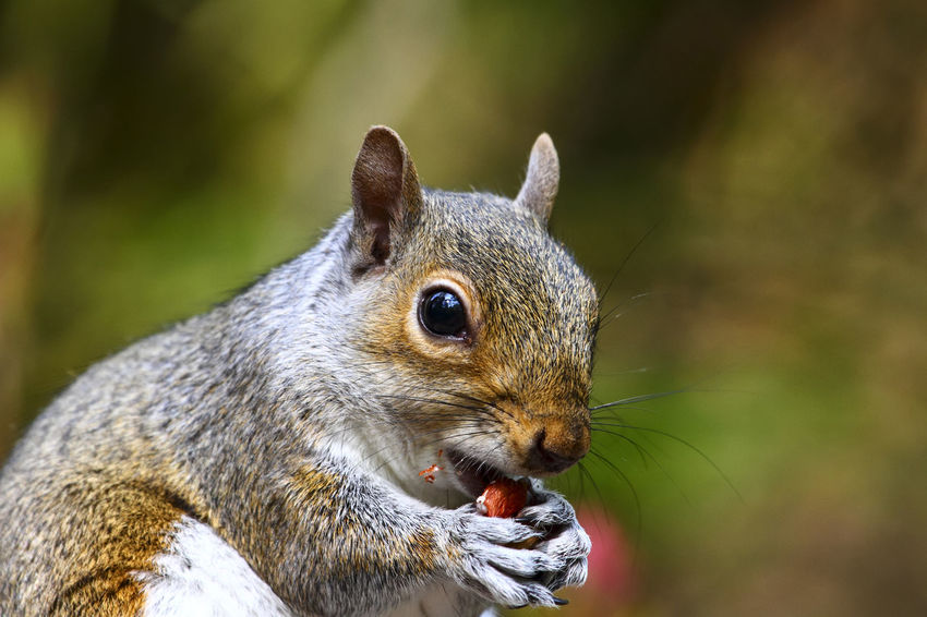 Close up of a squirrel eating peanuts in a woodland setting Nuts Peanuts Animal Themes Animal Wildlife Animals In The Wild Close-up Day Eating Focus On Foreground Food Foraging Gray Squirrel Mammal Nature No People One Animal Outdoors Peanut Sciuridae Squirrel Wildlife