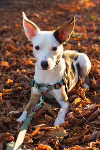 Animal Animal Themes Autumn Canine Change Day Dog Domestic Domestic Animals Field Jack Russell Terrier Land Leaf Leaves Looking At Camera Mammal Nature No People One Animal Pets Plant Part Portrait Small Vertebrate