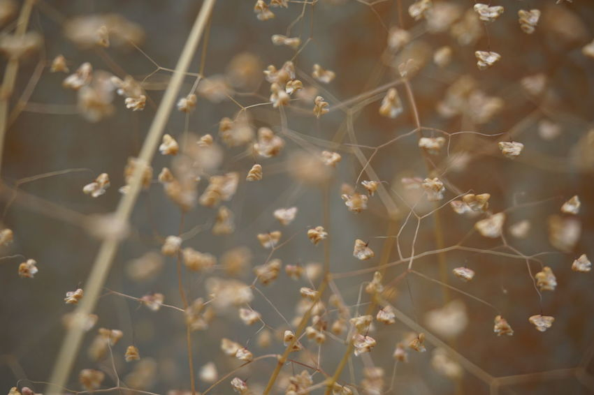 Shivery Grass Briza Dry Grass Dry Seeds Blur Brown Weed WildWeeds Nature Flower Backgrounds Defocused Abstract Full Frame Pattern Close-up Plant Closing Wildflower