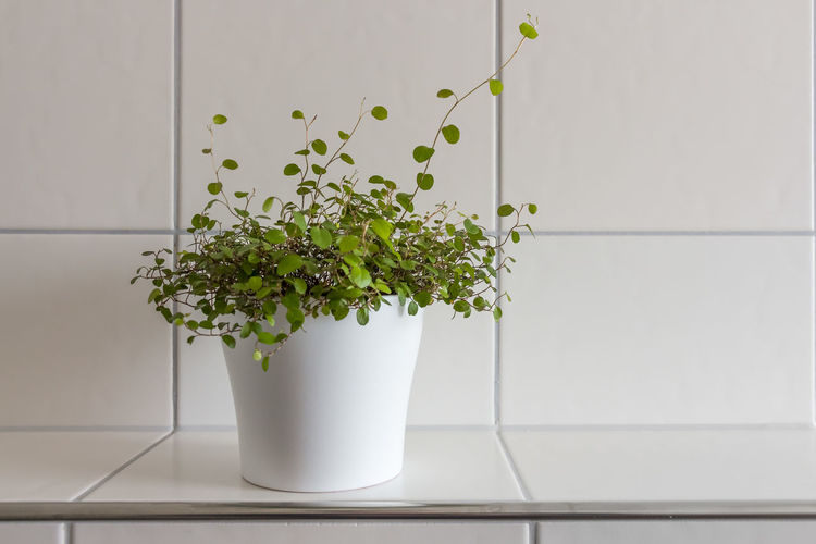Close-up of potted plant against tiled wall