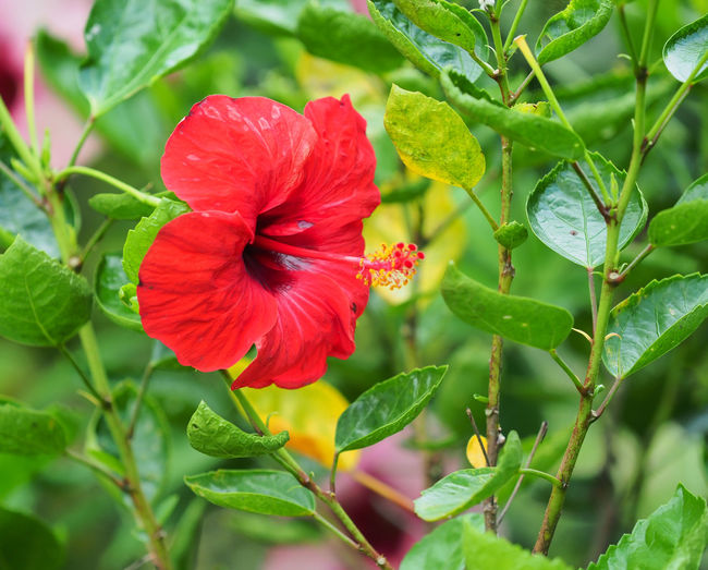 Close-up of red hibiscus on plant