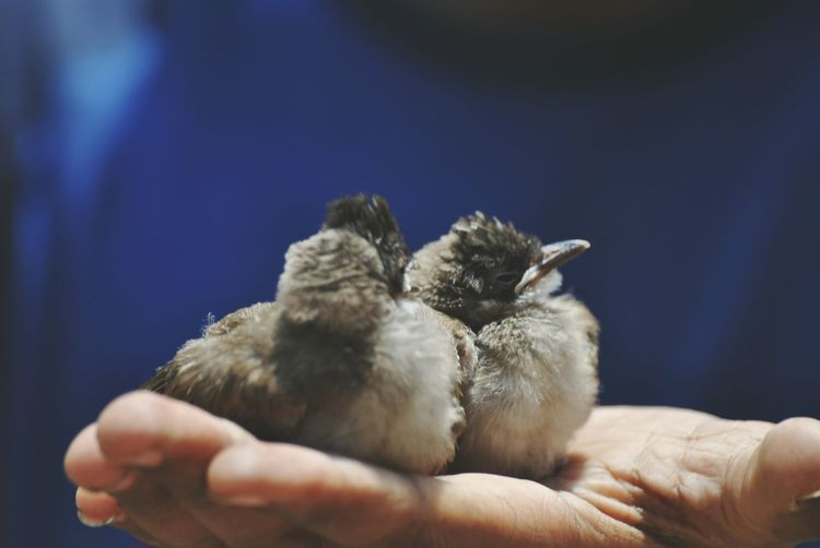 Close-up of hand holding birds against blurred background