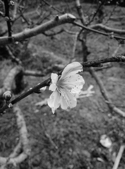 Spring Flowers Peach Blossom