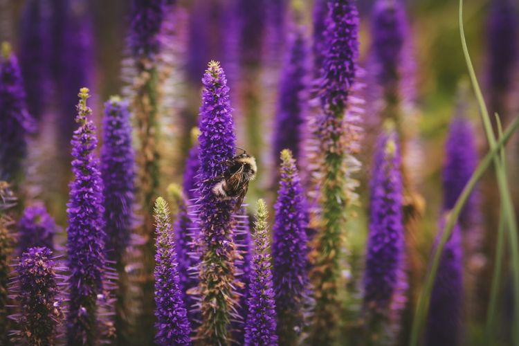 Flower Bee Pollination Insect Flower Head Purple Lavender Lavender Colored Honey Bee EyeEmNewHere