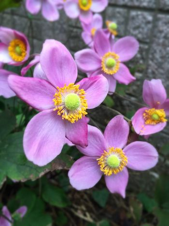 Flower Petal Fragility Growth Beauty In Nature Flower Head Freshness Pink Color Nature Plant Blooming No People Outdoors Close-up Day Stamen 花 シュウメイギク 秋明菊