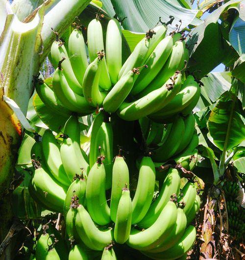 Bananas Fruitporn Foodporn Food Porn Fruits ♡ Fruity Fruit Photography Cavendish G9 Cavendish Banana Kela  Fruits Fresh Food Freshproduce Greenbananas Greenbanana