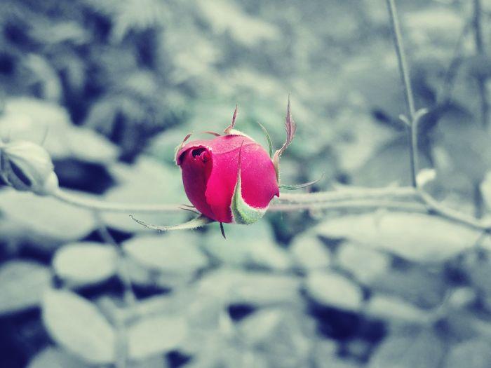 beauty of beginning Sony Digitalcamera Garden Garden Photography Gardenroses Garden Rose Rose🌹 Rose Garden Daylight Nature Nature Photography Naturelovers Plant Focus Things I Like