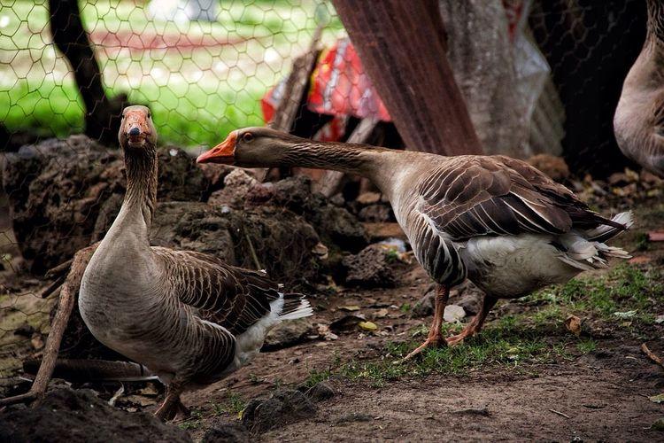 Gansos Gansos Salvajes Animalessueltos Aves Gris Ganjareta Momento De Ocio Vidanatural Eyeem Animal Niceshoot