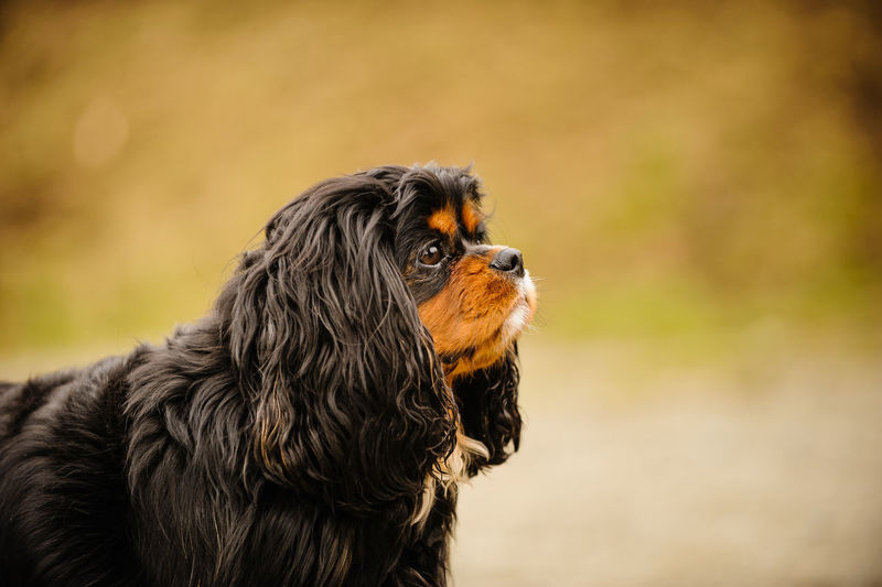 Cavalier King Charles Spaniel Standing Outdoors