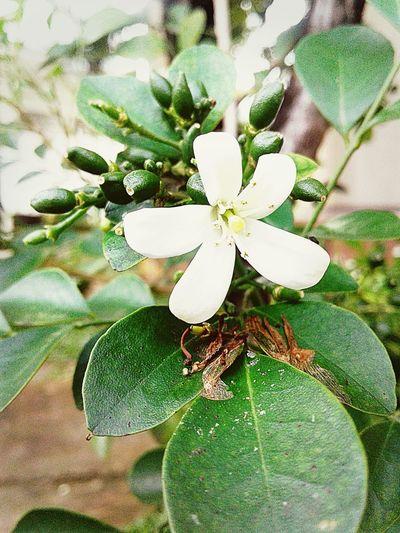 Nature Green Color Flower Si Putih Imut