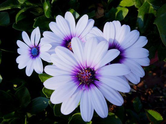 Wonderful nature Flower Head Flower Osteospermum Petal Purple Close-up Plant