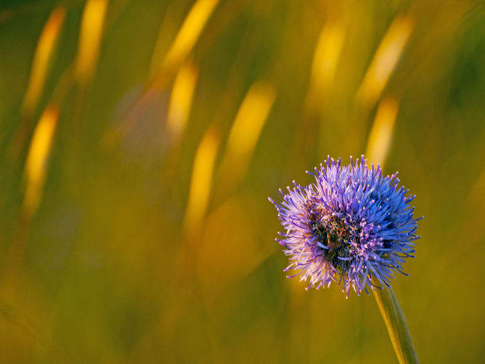 Animal Themes Beauty In Nature Close-up Copy Space Day Field Flower Flower Collection Flower Head Flowers Fragility Freshness Growth Jasione Jasione Montana Nature No People Outdoors Petal Plant Purple Sheep's Bit Space For Text Spring Springtime