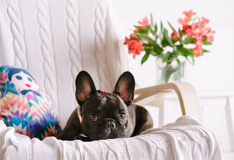 Portrait of french bulldog puppy relaxing on sofa at home