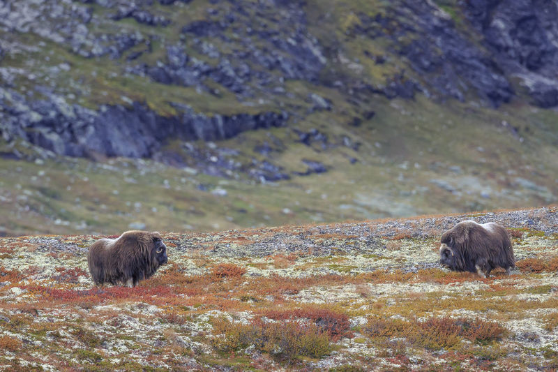 A standoff between two musk oxen in Norway. Animal Animal Themes Animal Wildlife Animals In The Wild Mammal Group Of Animals Two Animals Nature Vertebrate Day No People Rock Mountain Land Landscape Bear Outdoors Solid Musk Ox Norway Dovrefjell Autumn Fall