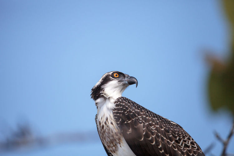 Osprey bird of prey pandion haliaetus perches on a tree at clam pass in naples, florida