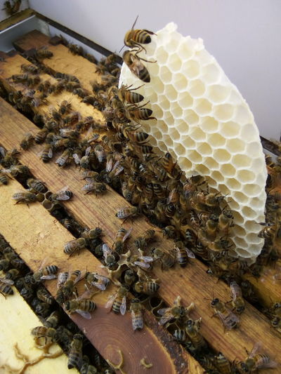 constructing Beeswax Bee Workers Bees Beehive Beeswax Colony Constructing Constructing Home 🏡 Honey Bee Insect