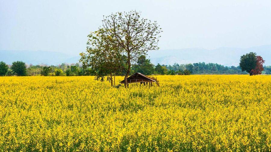 Hut in mustard field