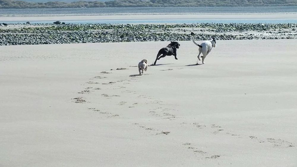 My dogs on the beach at barmouth.. staff, pug, lurcher.. Staffies There Softer Than You Think Lurcher Pugs I Love My Dog
