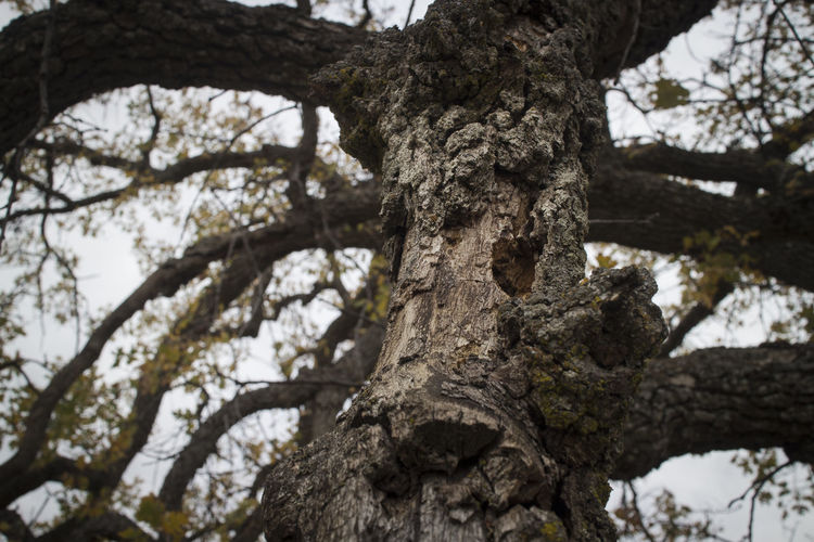 Oak Tree texture number 1. TehachapiCalifornia Southern California Details Texture Outdoor Photography