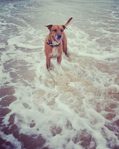 Ridgeback Cross Staffy Standing ln The Sea Dogs Bullmastiff Cattledog Beach Sand Sea Water Waves Staffordshirebullterrier Ridgeback Pet Animal Cute Expression Relaxing Beautiful Loyalty Ocean Adorable Loving Nature Dog K9