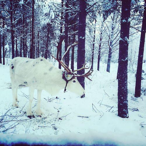 IPS2016Winter Winterinlaplandfinland Reindeer❤️❤️ Wintertime Articsnowhotel Snow ❄ Sojourn IntotheArticCircle Rovaniemi, Finland Aurora Chasing Winter Wonderland Reindeer! Winterscapes IPS2016Nature LLLimages IPS2016White