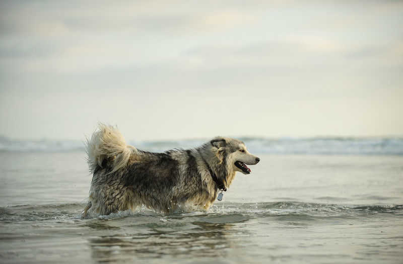 Alaskan Malamute dog walking through ocean water One Animal Animal Animal Themes Dog Canine Water Domestic Pets Domestic Animals Sea Nature No People Day Beach Sky Side View Alaskan Malamute Malamute Dogs Ocean Wet