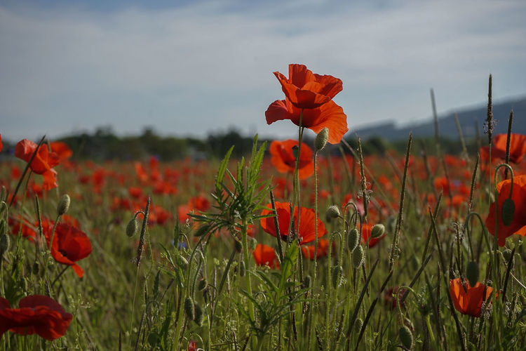Close-up of poppy flowers in field