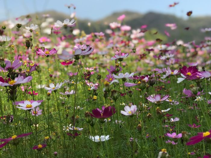 Flowering Plant Flower Plant Growth Freshness Beauty In Nature Vulnerability  Fragility Nature No People Day Land Petal Field Pink Color Close-up Flower Head Inflorescence Outdoors Green Color