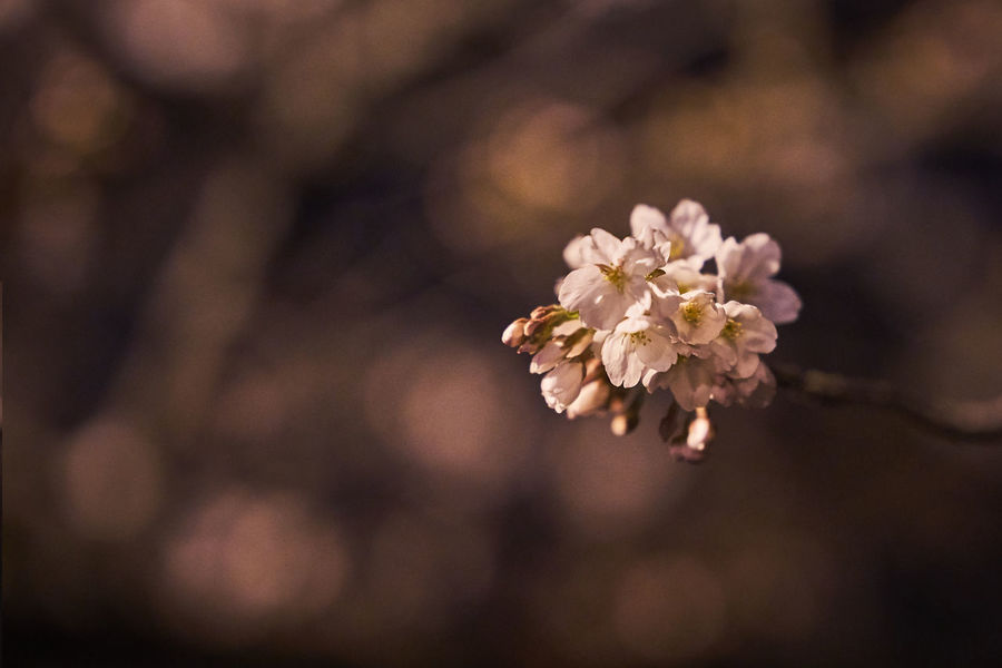 Cherry Blossom Cherry Blossoms Night Lights Night Photography Nightphotography Beauty In Nature Blossom Cherryblossom Cherryblossoms Close-up Flower Flower Collection Flower Head Flowers Fragility Freshness Growth Nature Night Night View Nightlife Nightshot No People Outdoors Springtime