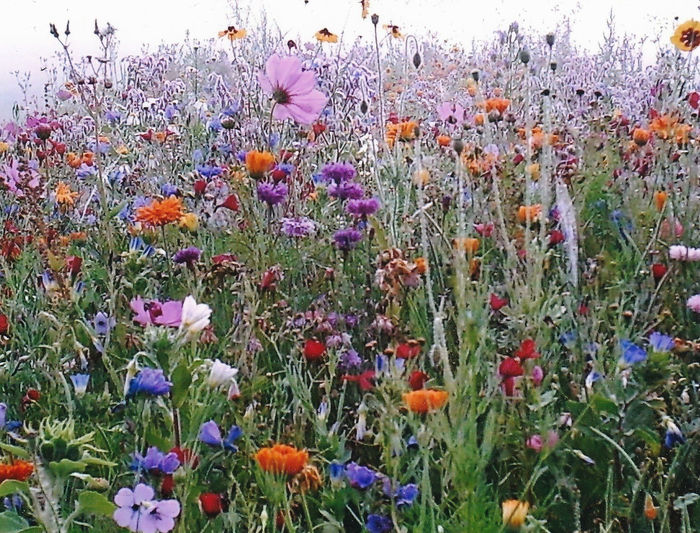Wiese pur Natur Pur Wiese  Beauty In Nature Blooming Bunt Day Farbenfroh Farbenfrohe Blumen Field Flower Flower Head Fragility Freshness Growth Nature No People Outdoors Petal Plant Purple Tranquility Wiesenblumen