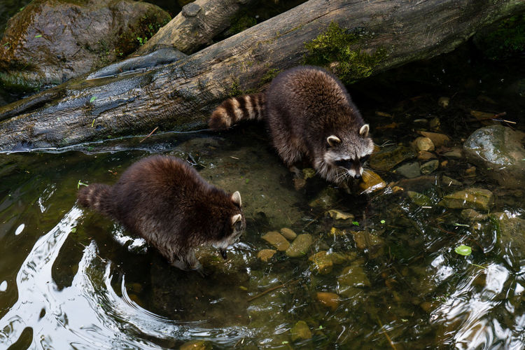 two racoons are cleaning in the river on the waterfront Animal Animal Themes Animal Wildlife Animals In The Wild Water Mammal Group Of Animals Vertebrate Nature No People Lake Waterfront Day High Angle View Two Animals Outdoors Rock Rock - Object Racoon Racoons Bathing Predator Curious Tree Forest Wildlife River Canine Cleaning Furniture Landscape Wet Leaves Creek Cute Environment Zoo
